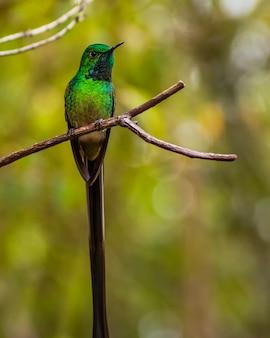 Beija-flor verde