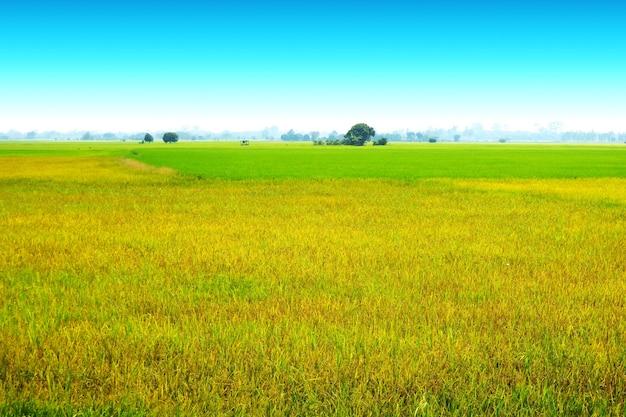 Bela agricultura fazenda de arroz de jasmim e névoa suave pela manhã céu azul nuvem branca