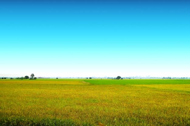 Bela agricultura fazenda de arroz de jasmim pela manhã céu azul claro nuvem branca