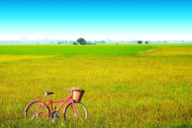 Bela agricultura fazenda de arroz de jasmim pela manhã céu azul nuvem branca e bicicleta vermelha