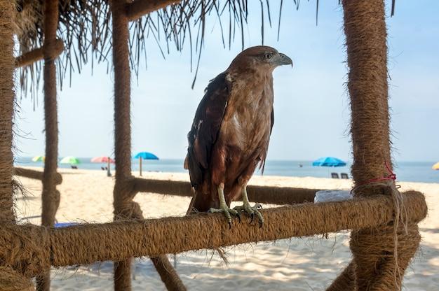 Bela águia majestosa malvada em um fundo de praia sob o céu azul