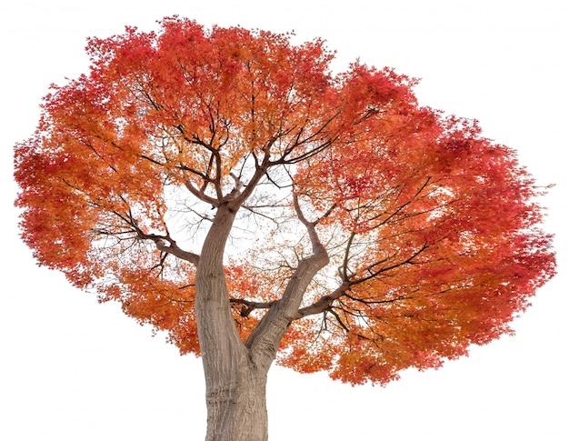 Bela árvore de bordo vermelho sai no outono, isolado no fundo
