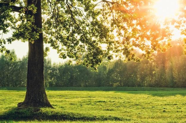 Bela árvore de carvalho com o sol na folhagem