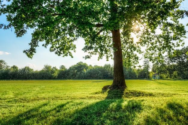 Bela árvore de carvalho com sol em seus ramos