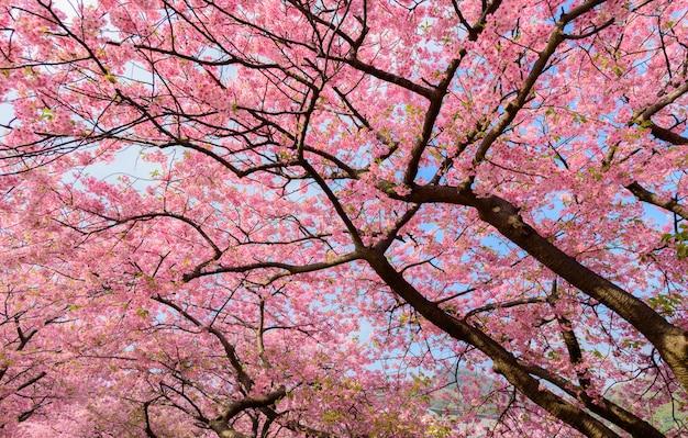 Bela árvore de sakura do japão