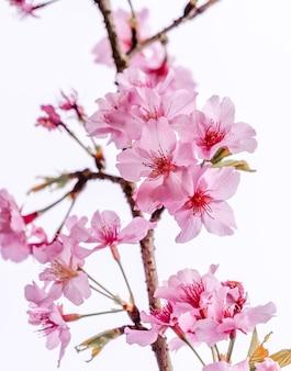 Bela árvore de sakura flores de cerejeira floresce na primavera sobre o céu azul, copie o espaço, close-up.