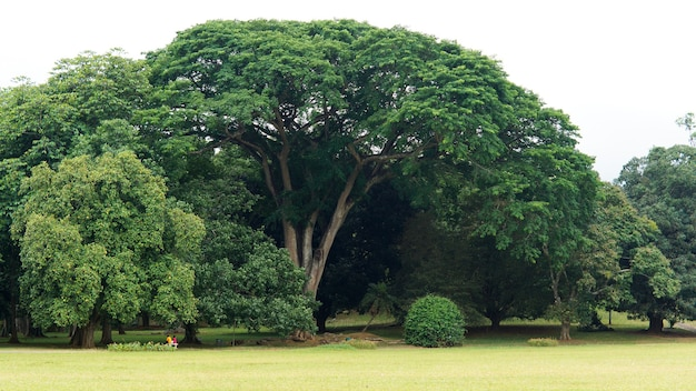 Bela árvore grande de sombra verde com ramos espalhados crescendo em um parque ou jardim