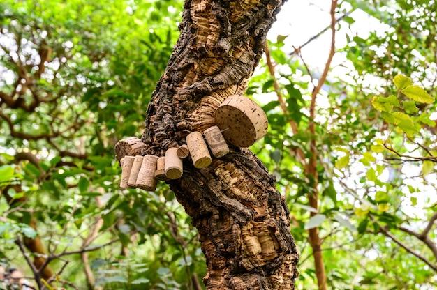 Bela árvore ramificada. cortiça. árvore encaracolada no jardim botânico.