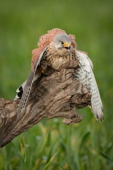 Bela ave de rapina em um tronco