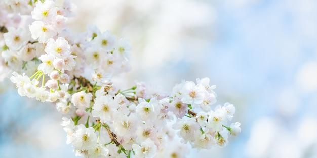 Bela cena da natureza com cerejeira florescendo na primavera