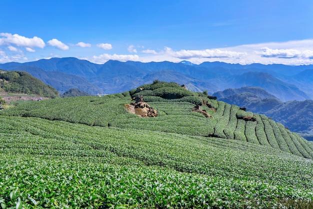 Bela cena de filas de jardim de chá isolada com céu azul e nuvem, conceito de design para o fundo de produtos de chá, cópia espaço, vista aérea