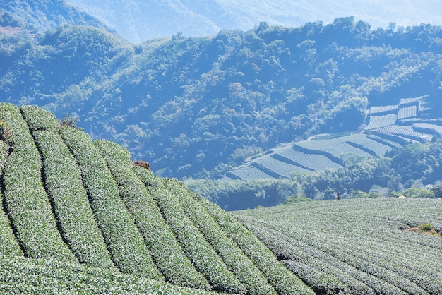 Bela cena de plantações de chá verde com céu azul e nuvens