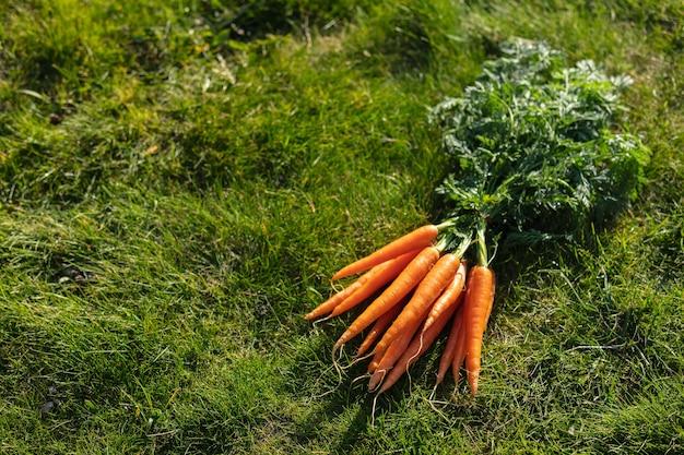 Bela cenoura orgânica na grama verde em um jardim.