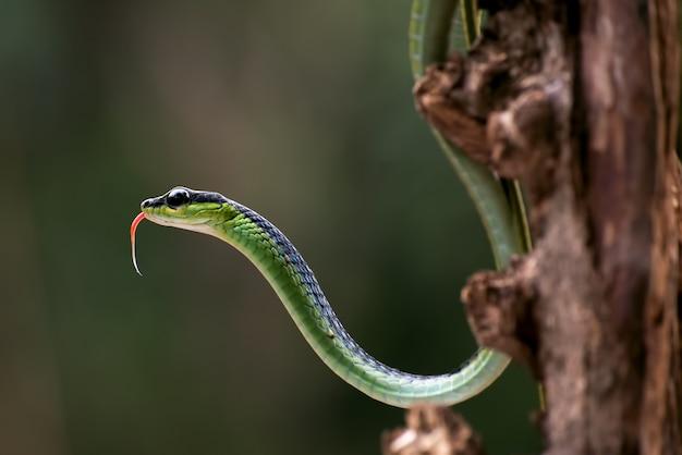 Bela cobra de árvore bronzeback dendrelaphis formosus em galho de árvore