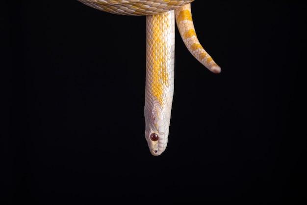 Bela cobra híbrida, cruzamento de duas espécies, cobra do milho e cobra rato.