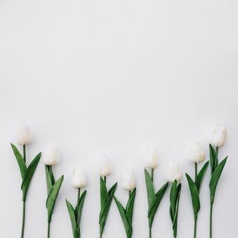 Bela composição com lindas tulipas em fundo branco, com espaço no topo