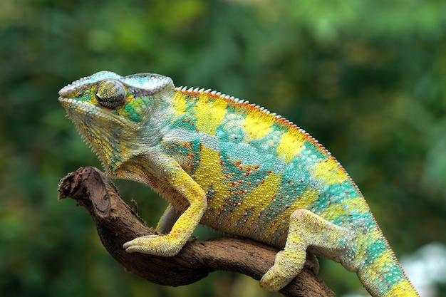 Bela cor de pantera camaleão amarela em um galho com fundo desfocado close-up