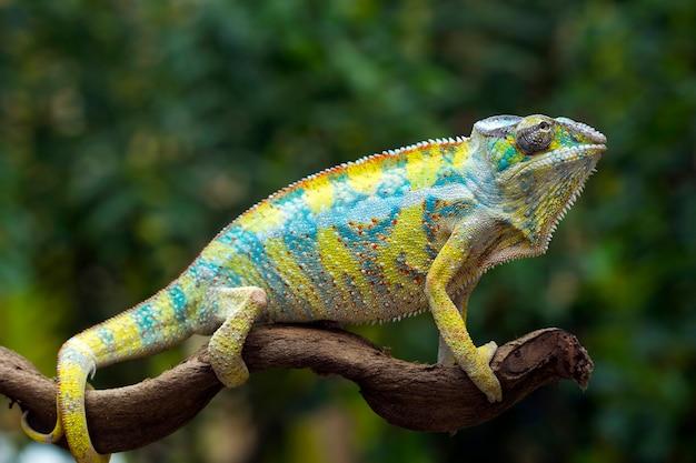 Bela cor de pantera camaleão, pantera camaleão no galho