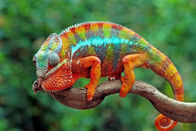 Bela da pantera camaleão pantera camaleão no galho Foto Premium