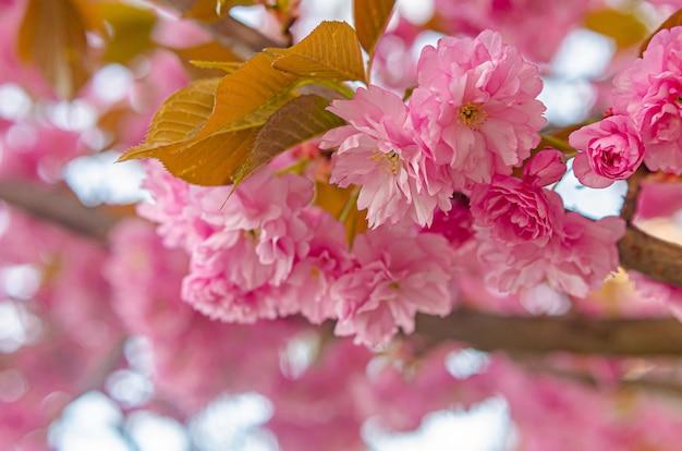 Bela exuberante árvore de sakura. rosa flores fofas.