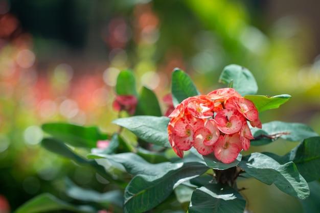 Bela fechada de coroa de espinhos ou flores de espinho de cristo