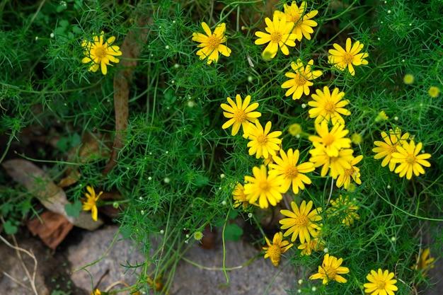 Bela flor amarela da margarida de singapura