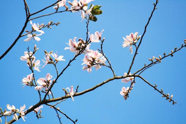 Bela flor branca selvagem himalaia cereja ramos com céu azul