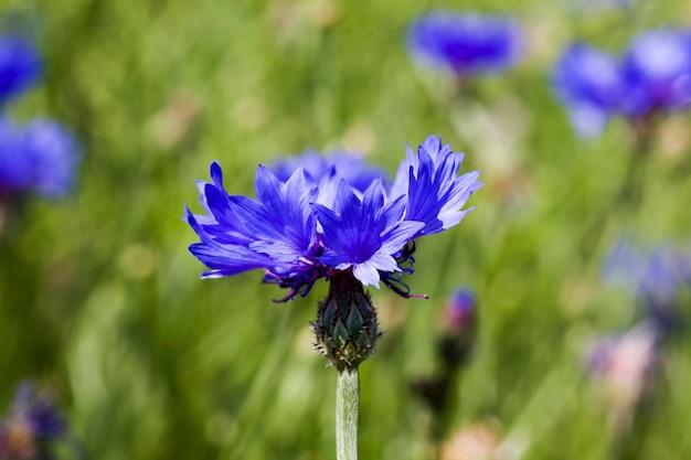 Bela flor, close-up da cor azul centáurea, as verdadeiras características da natureza na primavera do ano