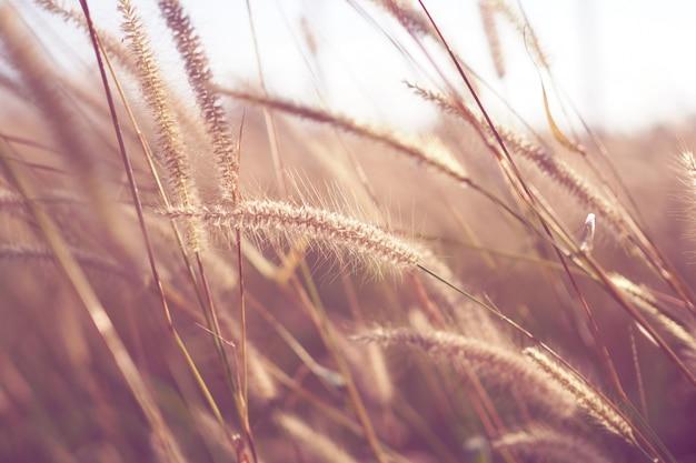 Bela flor da grama com pôr do sol para o fundo da natureza, foco suave e turva