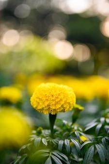 Bela flor de calêndula (tagetes erecta, calêndula mexicana, asteca ou africana) no jardim.
