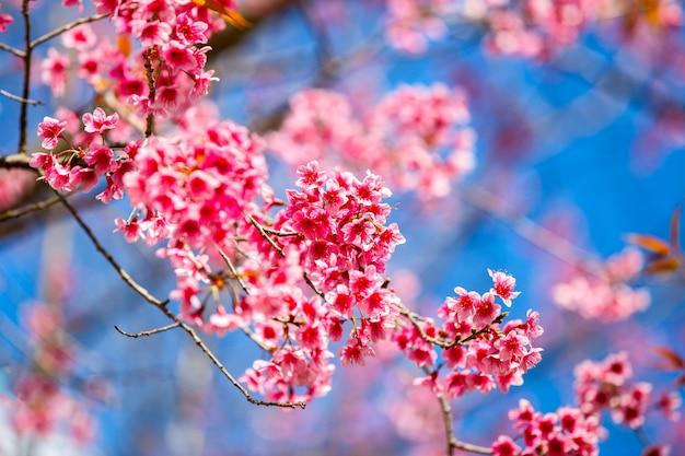 Bela flor de cerejeira, chiang mai, tailândia