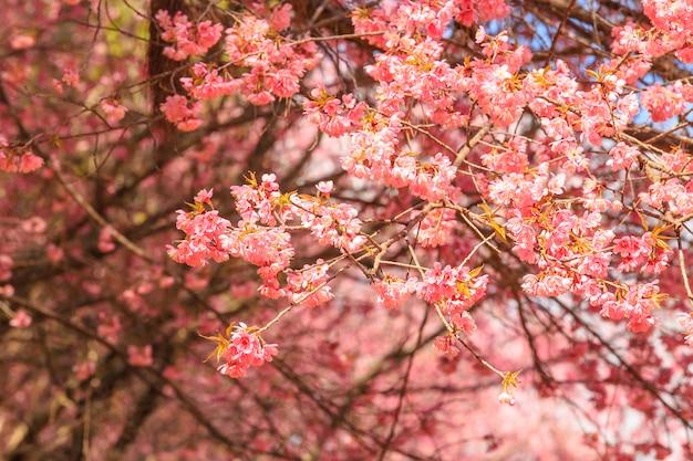 Bela flor de cerejeira close-up