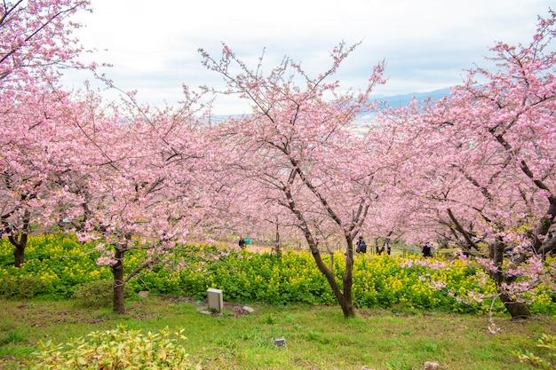 Bela flor de cerejeira em matsuda, japão