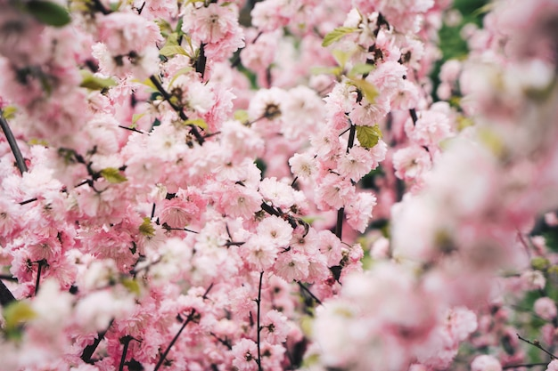 Bela flor de cerejeira em uma árvore de cereja em um jardim