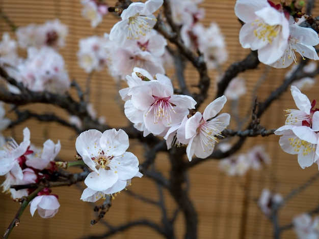 Bela flor de cerejeira na parede marrom na primavera