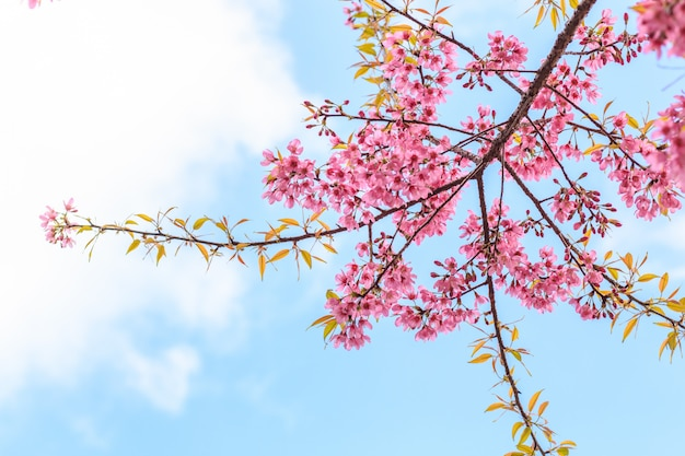 Bela flor de cerejeira no fundo do céu azul
