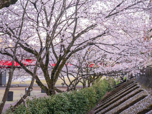 Bela flor de cerejeira no parque - primavera no japão