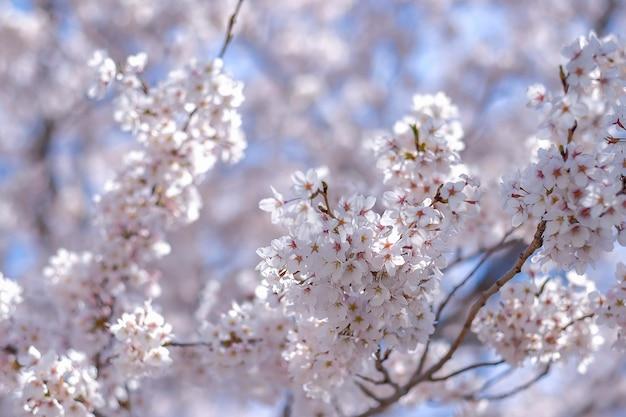 Bela flor de cerejeira ou rosa sakura flor árvore na temporada de primavera
