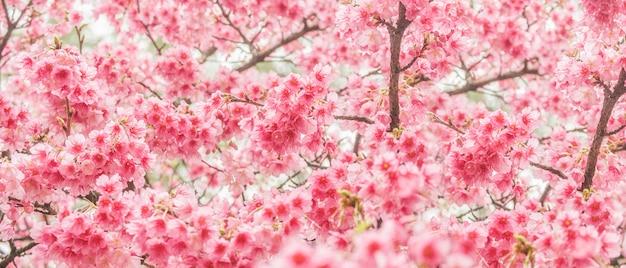 Bela flor de cerejeira sakura em tempo de primavera