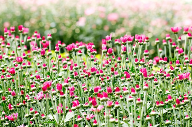 Bela flor de crisântemo