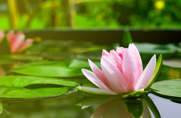 Bela flor de lótus ou nenúfar em uma lagoa com folhas verdes ao fundo
