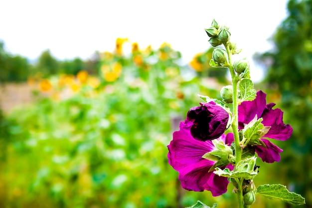 Bela flor de malva roxa closeup na superfície do jardim turva