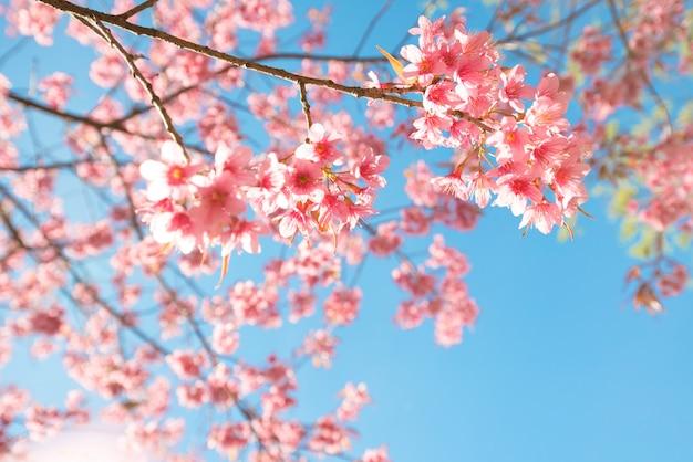 Bela flor de sakura (flor de cerejeira) na primavera. flor da árvore de sakura no céu azul.