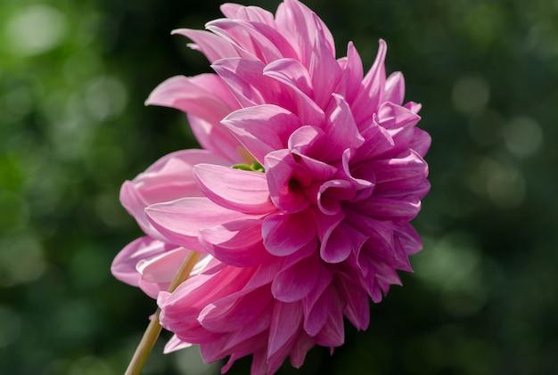 Bela flor fofa dahlia rosa cresce no jardim
