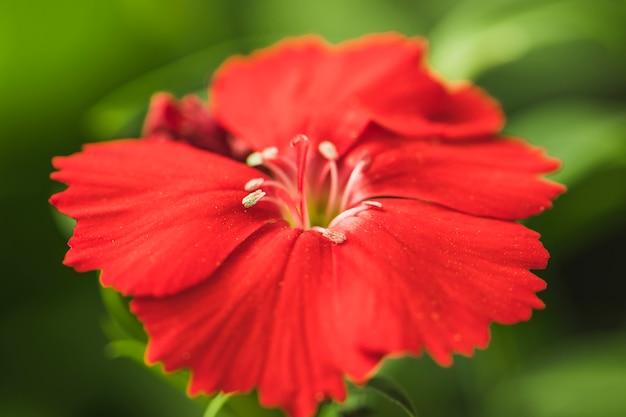 Bela flor fresca vermelha com folhas verdes