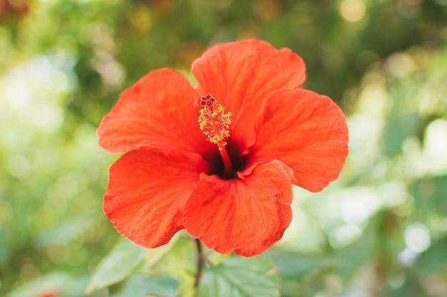 Bela flor grande vermelha brilhante de hibisco (hibiscus rosa sinensis) em fundo natural de folhas verdes.