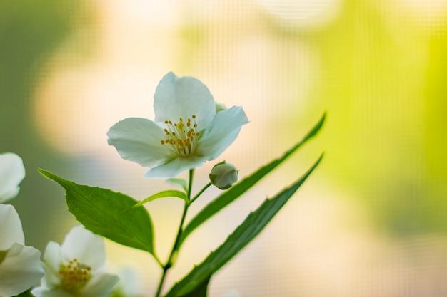 Bela flor na primavera, flores delicadas macro