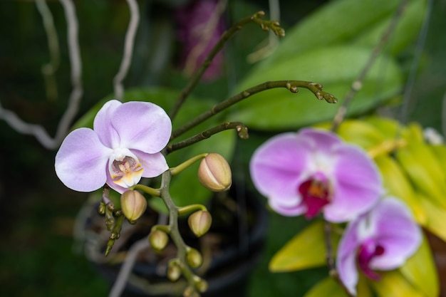 Bela flor rosa phalaenopsis orquídea no jardim.