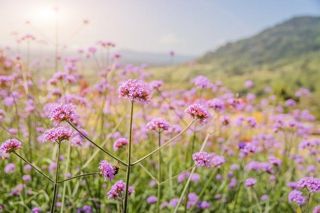 Bela flor roxa com flor de vidro e amarelo florescendo no jardim quando o sol da manhã