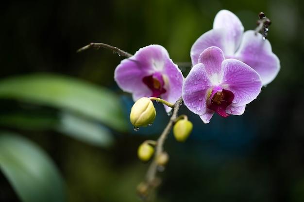 Bela flor roxa phalaenopsis na estação chuvosa do jardim.